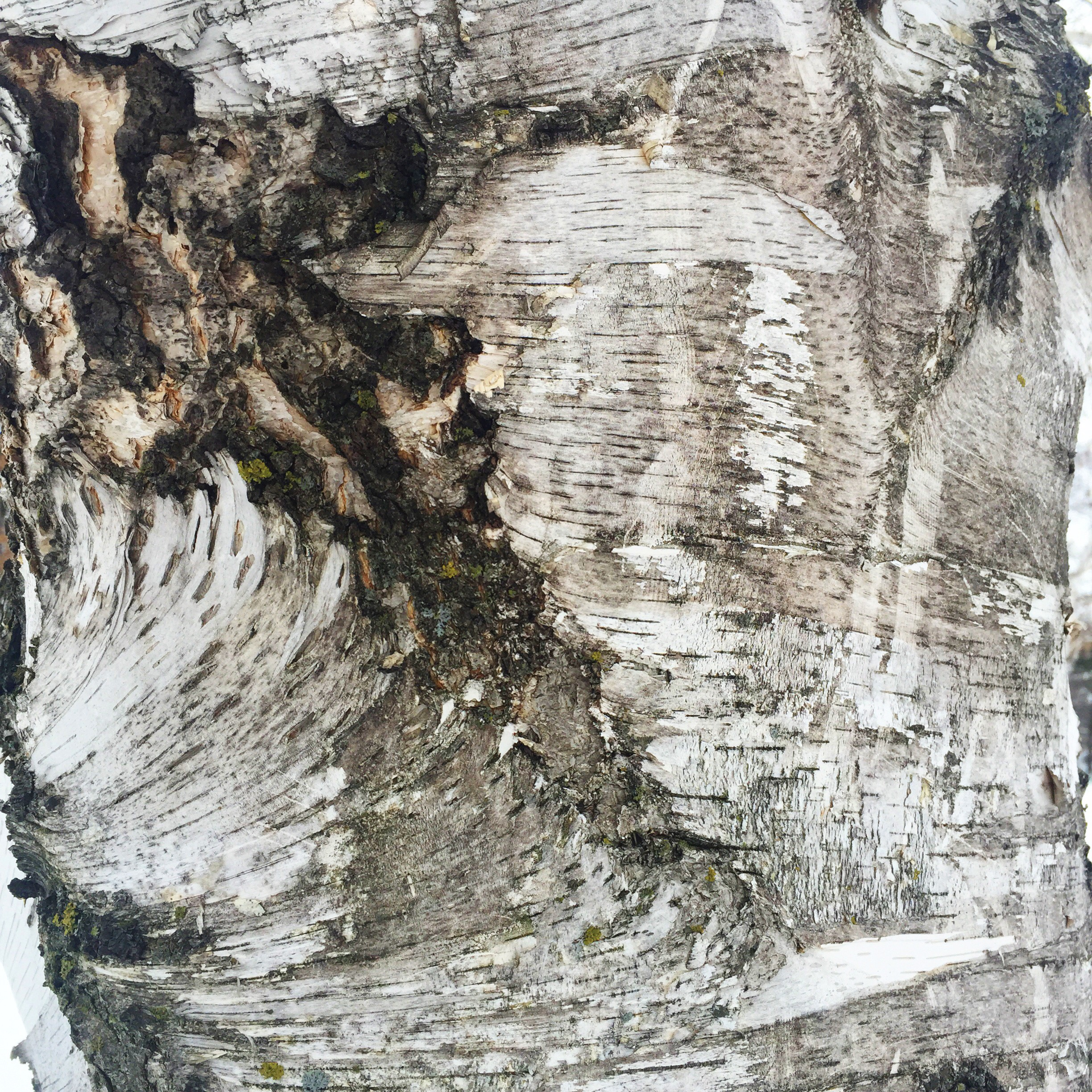Gorgeous markings of the birch tree