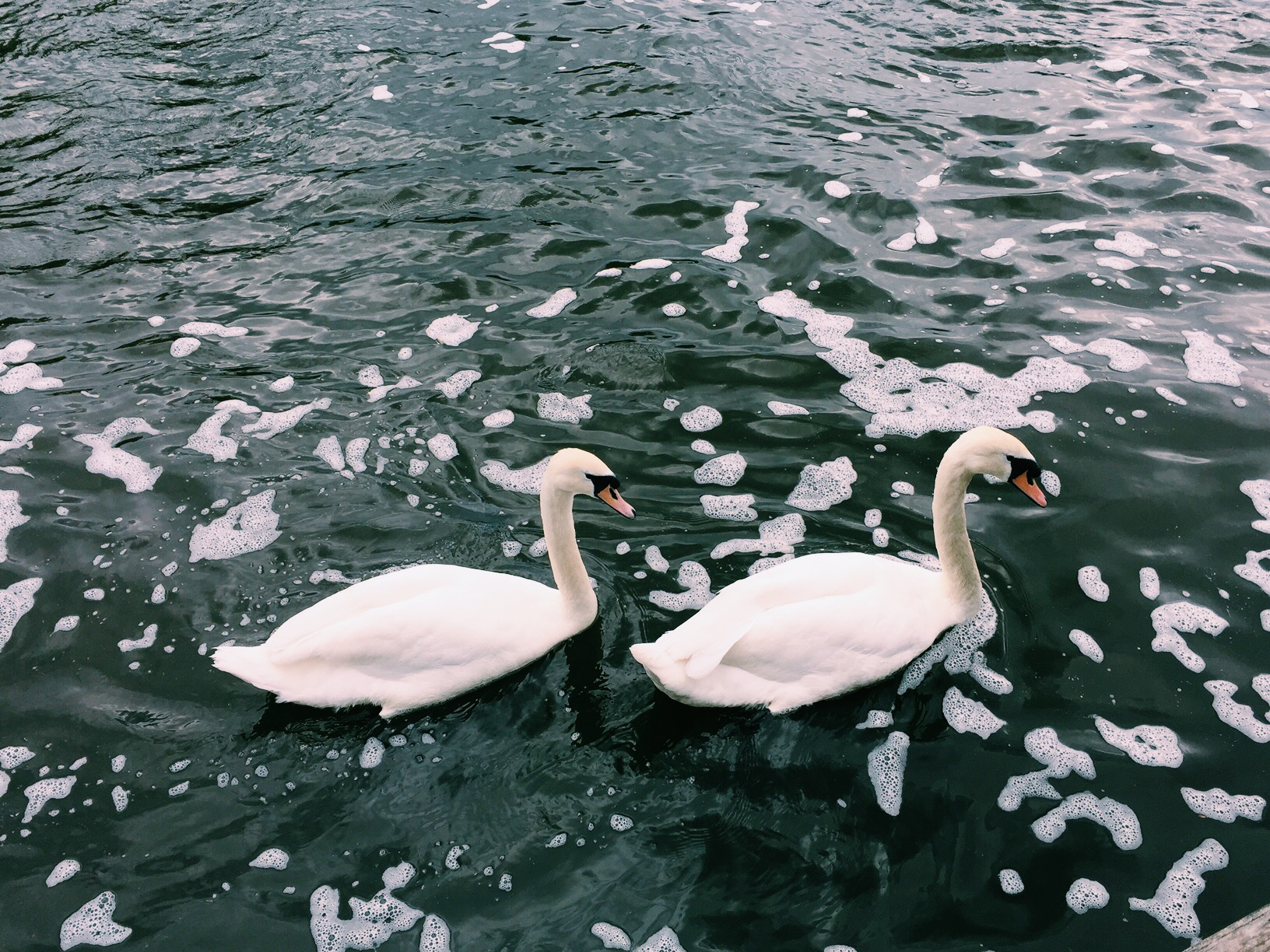Came across some beautiful swans while walking the dogs.  Gorgeous and unfriendly.