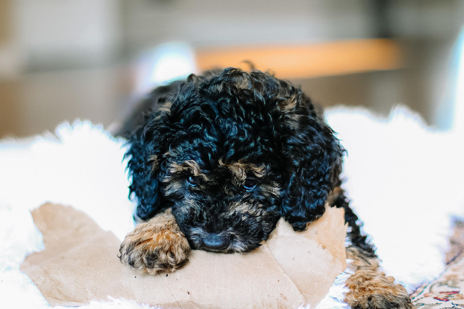 Meet Reese, My Bernedoodle Puppy   Style Domination by Dominique Baker