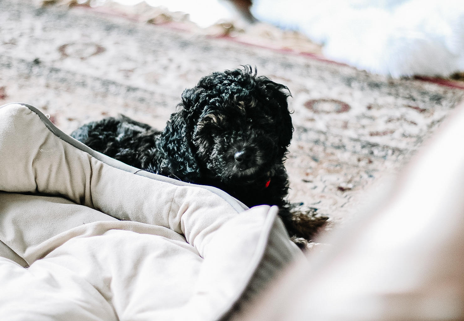Meet Reese, My Bernedoodle Puppy | Style Domination by Dominique Baker