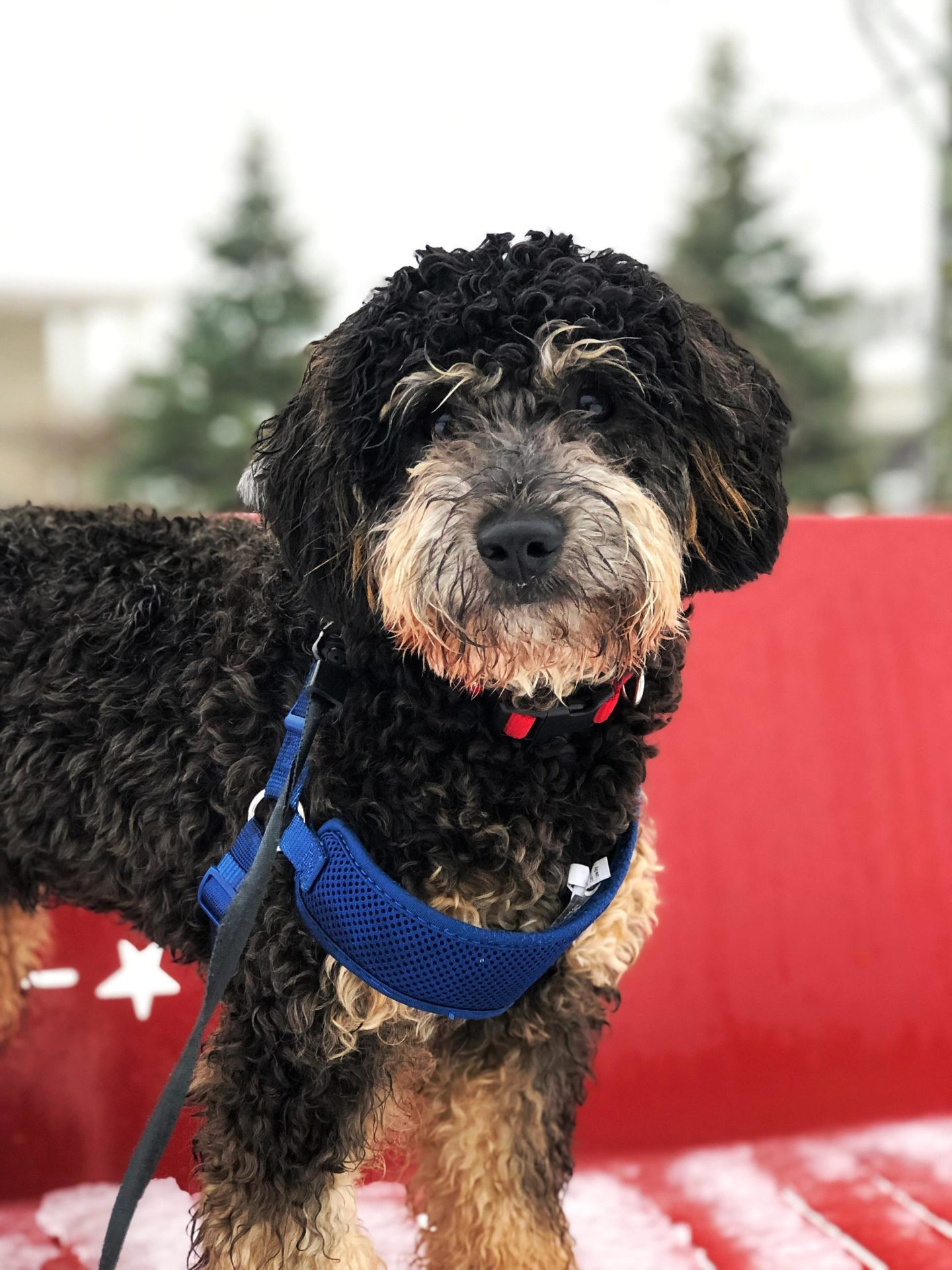 A picture of Reese the Bernedoodle dog standing on a park bench